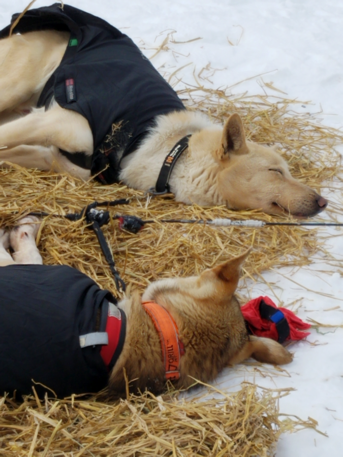 Sleeping sled dogs at Willow 300
